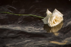 1970 - White rose on water